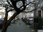 Flowering trees on West 1st, Kitsilano