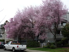 Flowering tree - Kitsilano
